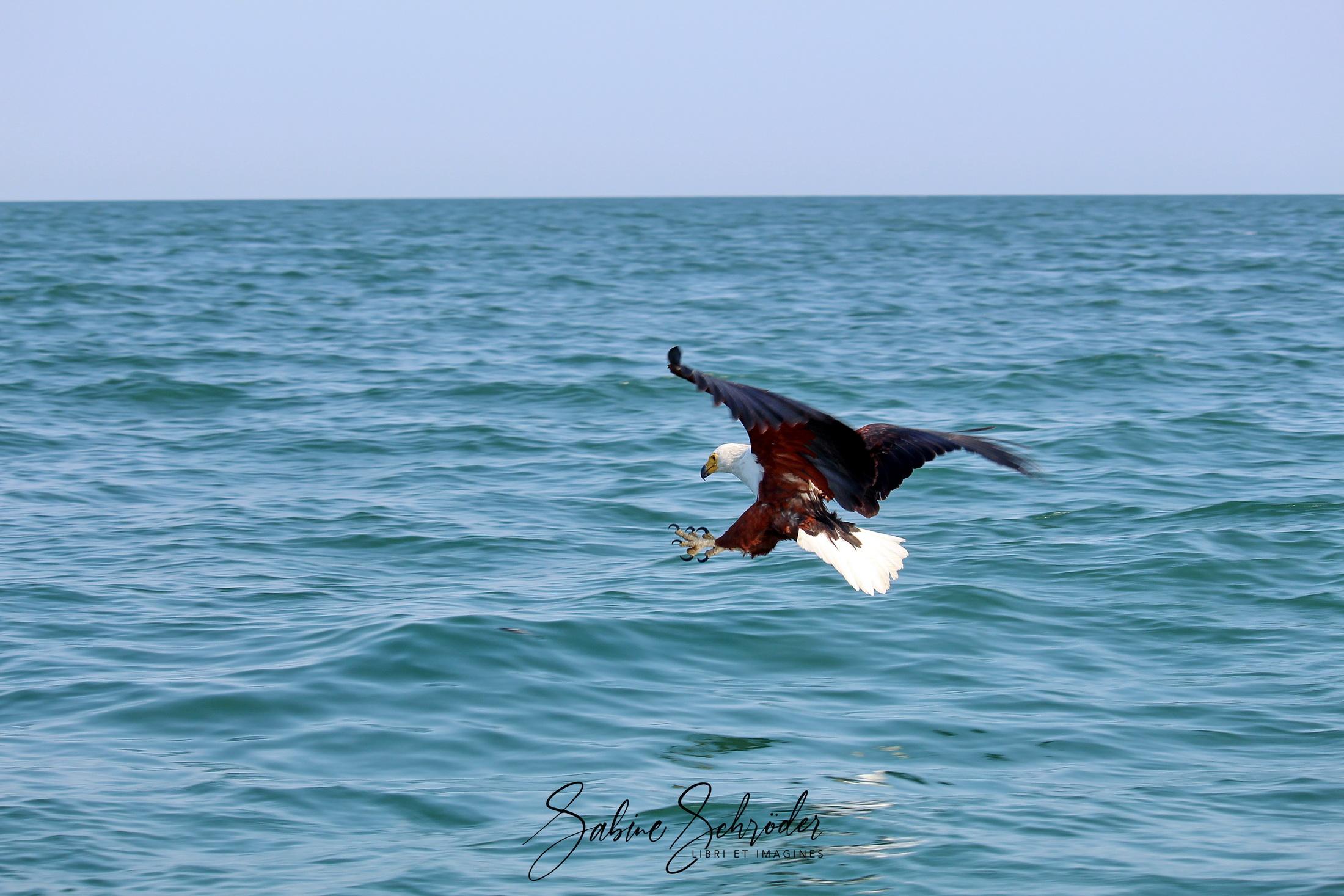 Fischadler am Malawi-See