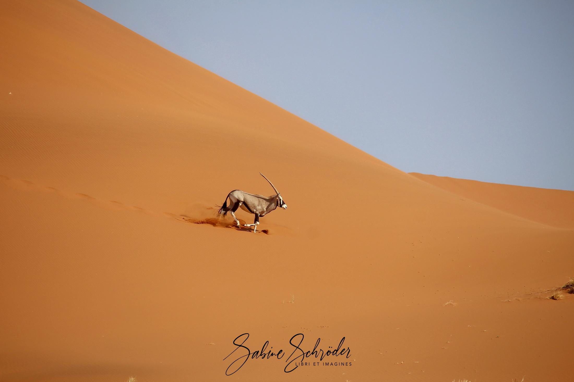 Gazelle im Sossusvlei