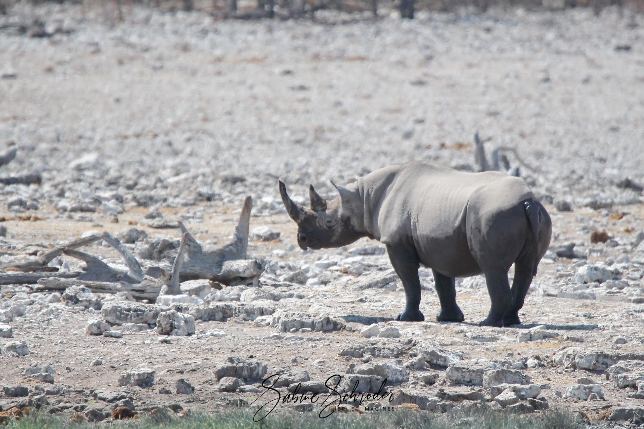 Nashorn im Etosha NP