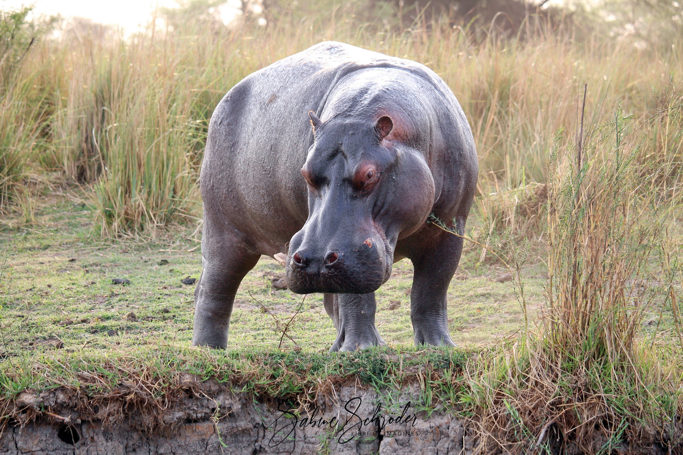 Schlechtgelaunter Hippo am Okawango