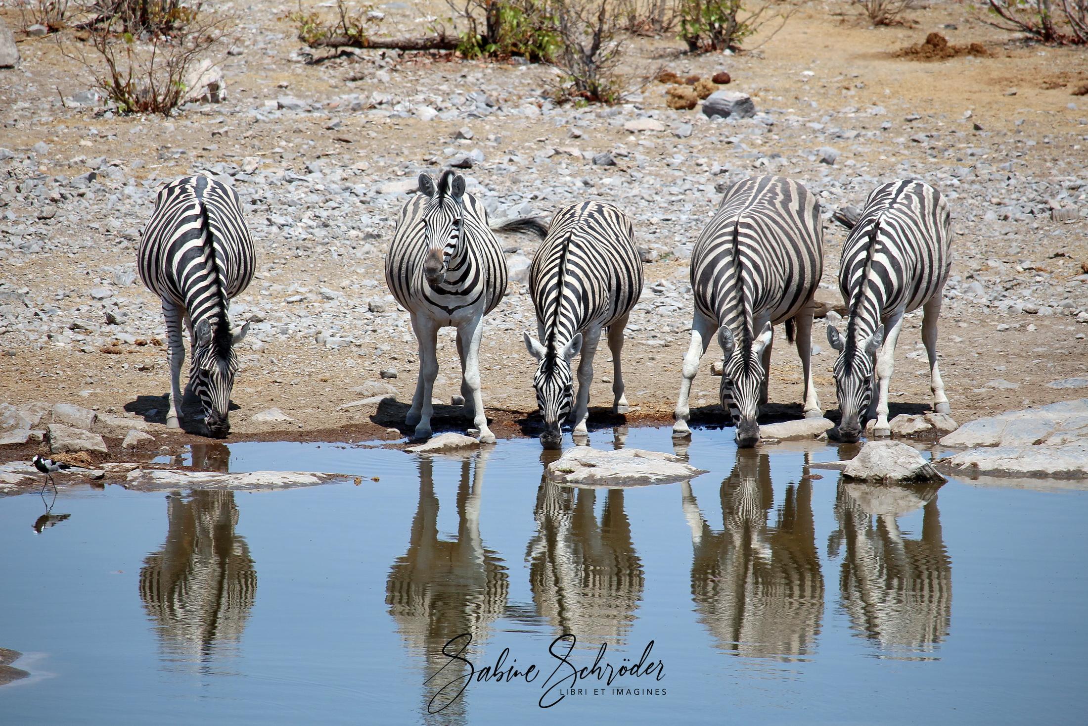 Zebras am Wasserloch - Etosha NP